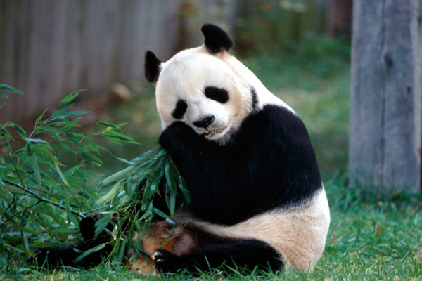 giant panda tibet nature environmental conservation network