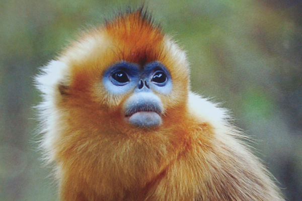 Golden Snub Nosed Monkey Tibet Nature Environmental