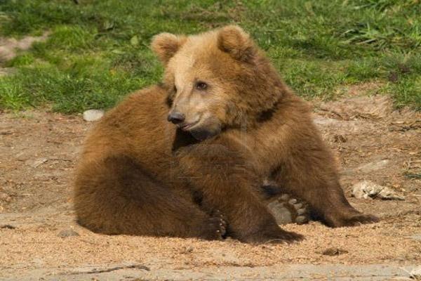 cute-brown-bear